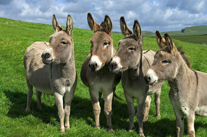10 Donkey Symbolism Facts & Meaning: A Totem, Spirit & Power