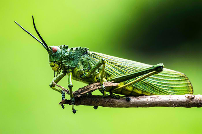 10 Grasshopper Symbolism Facts Meaning A Totem Spirit Power