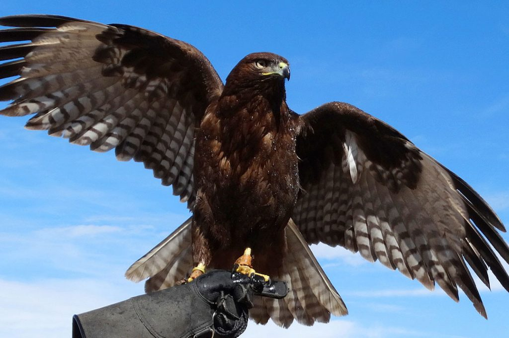 10 Hawk Symbolism Facts & Meaning: A Totem, Spirit & Power Animal