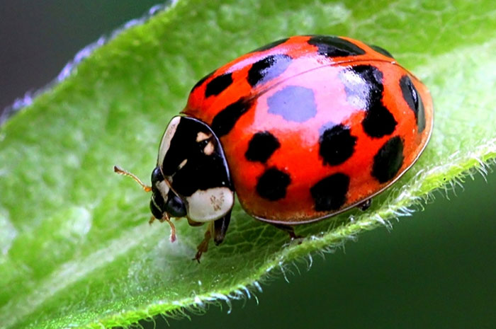 10 Ladybug Symbolism Facts & Meaning: A Totem, Spirit