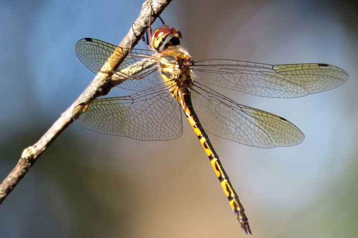 10 Dragonfly / Damselfly Symbolism Facts & Meaning: A Totem, Spirit