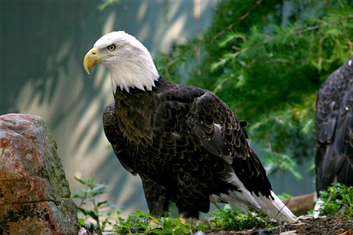 10 Eagle Symbolism Facts & Meaning: A Totem, Spirit & Power