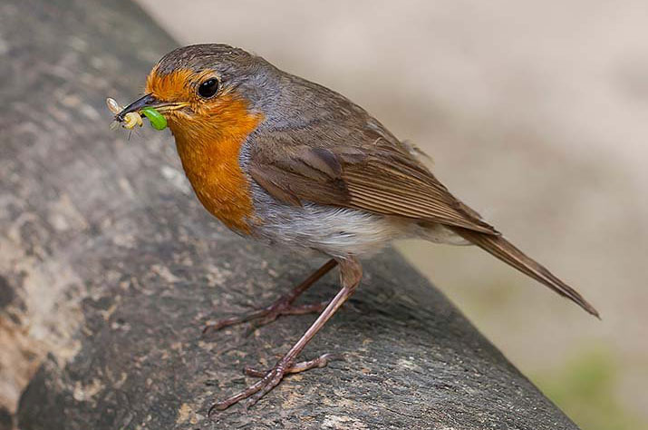 10 Robin Symbolism Facts & Meaning: A Totem, Spirit & Power