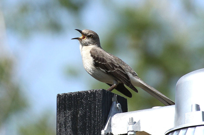10 Mockingbird Symbolism Facts & Meaning: A Totem, Spirit & Power