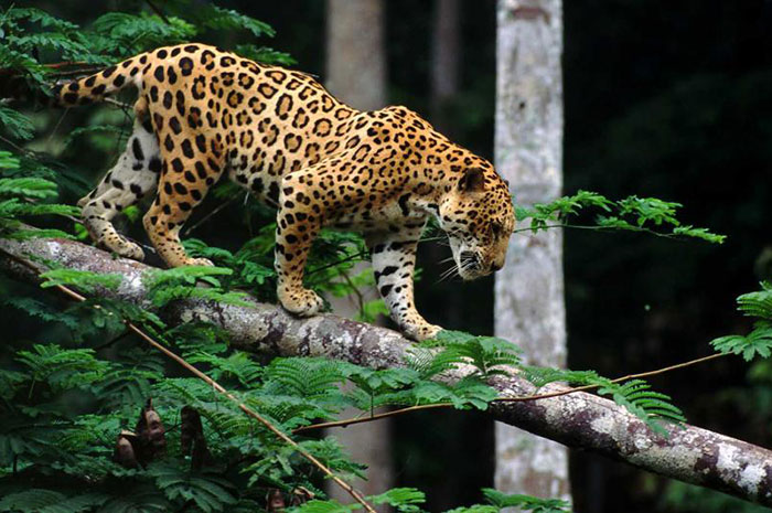 10 Jaguar Symbolism Facts & Meaning: A Totem, Spirit & Power