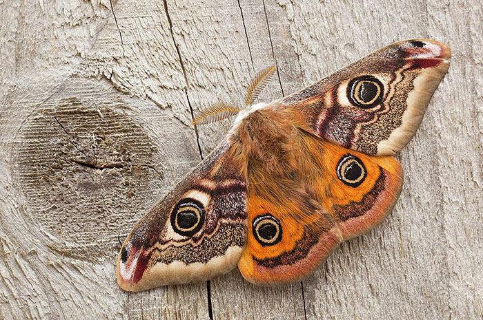 10 Moth Symbolism Facts & Meaning: A Totem, Spirit & Power Animal