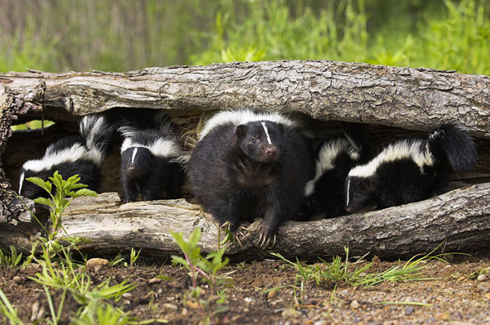 10 Skunk Symbolism Facts & Meaning: A Totem, Spirit & Power